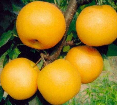 圆黄梨 6个(8两/个)